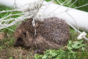 Documentary series category winner: Britain's Most Loved Mammal (European hedgehog) series by Lawrie Brailey from Merstham, Surrey