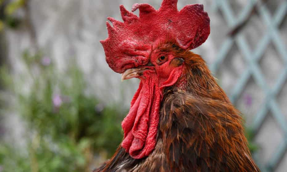 Maurice the rooster stands at Saint-Pierre-d'Oleron in La Rochelle, western Franc in 2019.