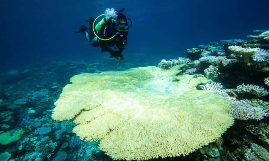 A large, severely bleached coral table at Scott Reef, Western Australia. The Greens have called on the government to urgently implement marine reserves.
