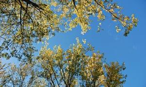 Poplar (populus) leaves, autumn, UK.
