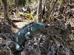 The blue iguana recovery programme was started in 1990 in the Cayman Islands. Starting with less than a dozen captive individuals, there are now approximately 1,000 individuals residing in nature reserves on Grand Cayman. Since the start of the project, the endemic lizard has become a national symbol and the species was reclassified from critically endangered to endangered in 2012. This is directly attributed to the phenomenal efforts of multiple organisations and volunteers involved in the programme over the years.