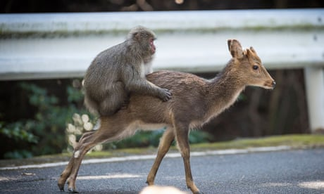 Sex between snow monkeys and sika deer may be 'new behavioural tradition'