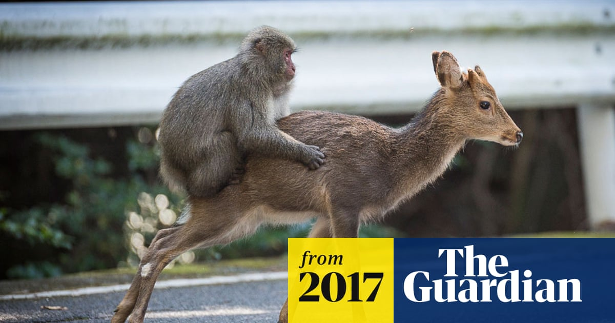 Snow monkey attempts sex with deer in rare example of