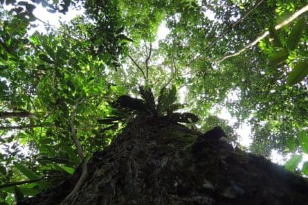 The trunk and part of the canopy of the Brazil nut tree, one of the most dominant tree species in the Amazon.
