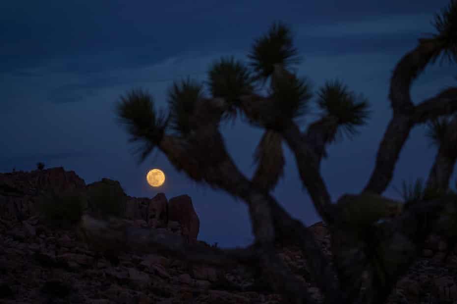 A full moon seen through a Joshua tree in California's Joshua Tree national park.