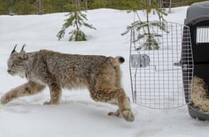 A Canada lynx is released in Schoolcraft County, Upper Peninsula, Michigan, US