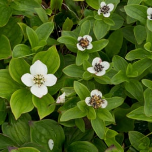 Bunchberry and wintergreen are abundant in Northern Ontario.