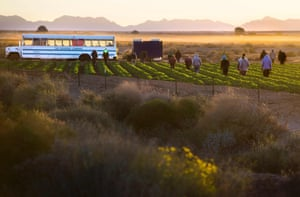 Temporary agricultural workers walk through farm land in the early morning in Weldon, Arizona
