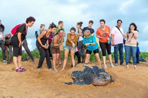 Remire-Montjoly, French Guiana Onlookers take pictures as they watch a leatherback sea turtle laying eggs on a beach, under the supervision of the local environmental group Kwata
