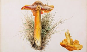 Beatrix Potter's pencil and watercolour painting of Hygrophorus puniceus, collected at Smailholm Tower, Kelso.