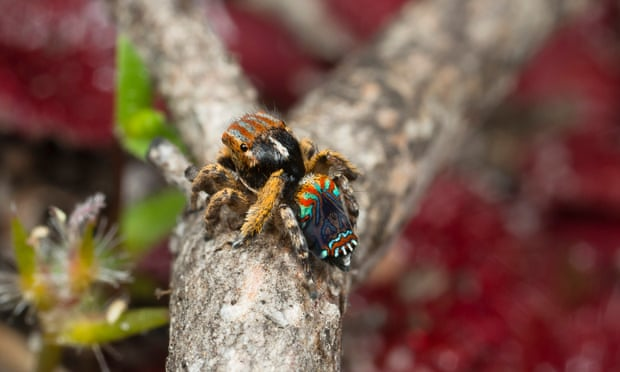 theguardian.com - Lisa Cox - Two new peacock spiders identified in Western Australia