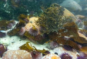 Sea urchins lie among seaweed and kelp fronds in False Bay, Cape Town, South Africa