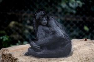 A black spider monkey