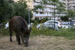 A wild boar eats the grass in a garden close to residential buildings in Ajaccio, Corsica, on 18 April.