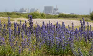 Britain's native Echium vulgare grows on wastelands and dry grassland, such as these at Dungeness