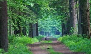 Wolf, Bialowieza Forest, Poland.
