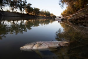 Dead carp in the Darling River above the weir at Menindee. Residents fear conditions are lining up for another mass fish kill a week after hundreds of thousands died.