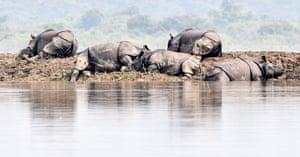 One-horned rhinoceros in Kaziranga national park, India