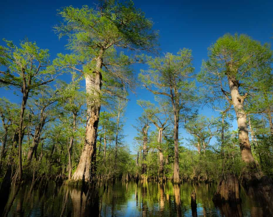 Cypress trees have towered over the Three Sisters swamp in North Carolina's Black River for more than 2,600 years.