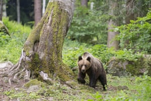 European Brown Bear (Ursus arctos arctos) adult, walking in woodland, Transylvania, Romania,