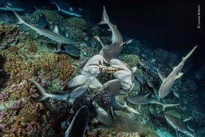 Grey reef sharks tear apart a grouper fish