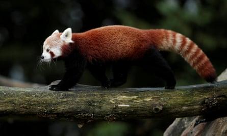 A red panda climbs a tree at the Beauval zoo in Saint-Aignan-sur-Cher