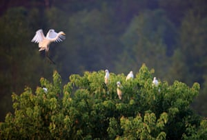 Egrets rest in a forest near the Xin'anjiang river in Huangshan, east China