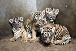 Bengal tiger cubs at Shanghai zoo in China