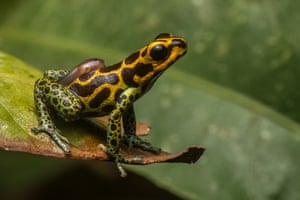 A male mimic poison frog (Ranitomeya imitator) transports a tadpole on his back to a pool of water.