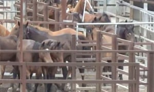 Racehorses in a Queensland slaughterhouse yard, filmed for the ABC 7:30 story on the treatment and slaughter of retired thoroughbreds.