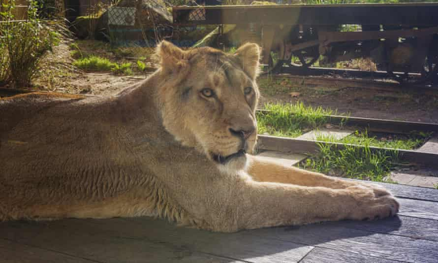 Asiatic lioness in Land of the Lions