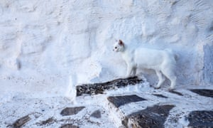 Ioannis Theologus church's white cat.