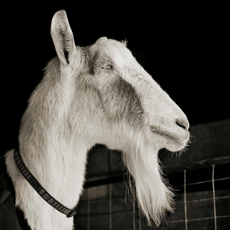Abe, a 21-year-old Alpine goat