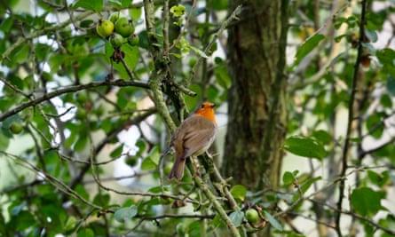 robin in crab apple tree