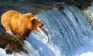 For Alaska's brown bears, 'being fat in October or November is a sign of success and resilience'.
