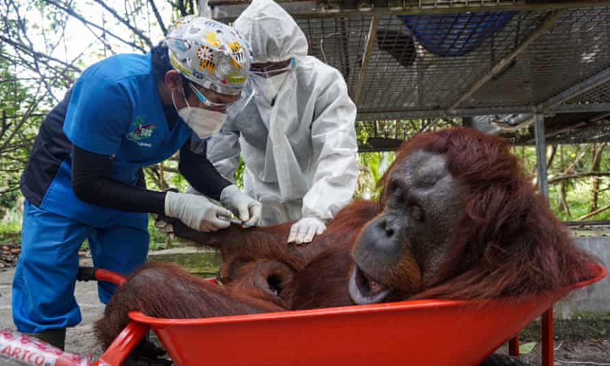 Nenuah, a 19-year-old female, was among the 10 orangutans released back into the wild.