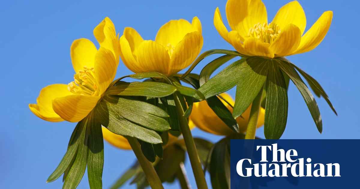Plant of the week: winter aconite | Life and style | The