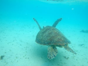 A green turtle at Howick Island, part of the Great Barrier Reef marine park in Far North Queensland, Australia