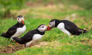Puffins on Skomer Island, South Wales.