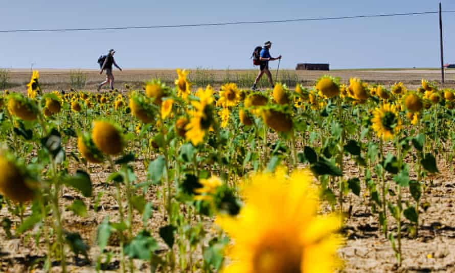 Sunflowers along the route of the Camino