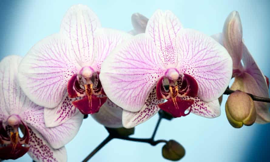Pretty in pink: the easy-to-care-for Phalaenopsis.