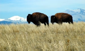 Bison in Colorado