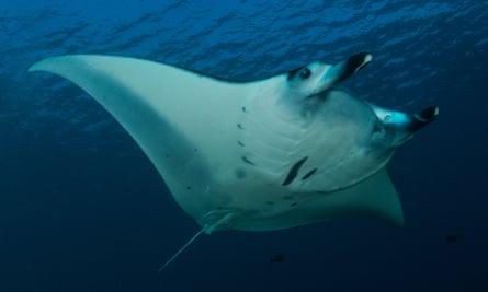 A reef manta ray at Dayan Raja Ampat, Indonesia.