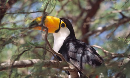 The Tocu toucan (Ramphastos toco), in Gran Chaco, Paraguay. There are 500 species of birds in the region.