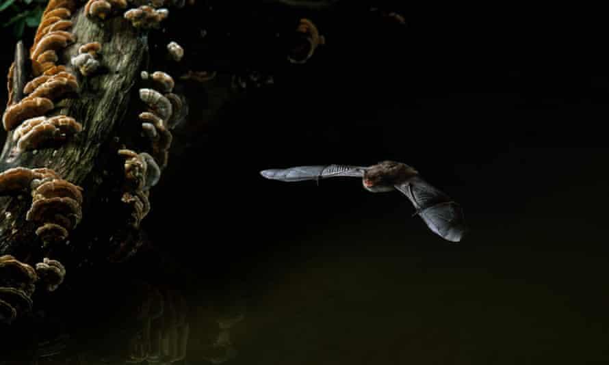 Daubenton's bat hunting over water.