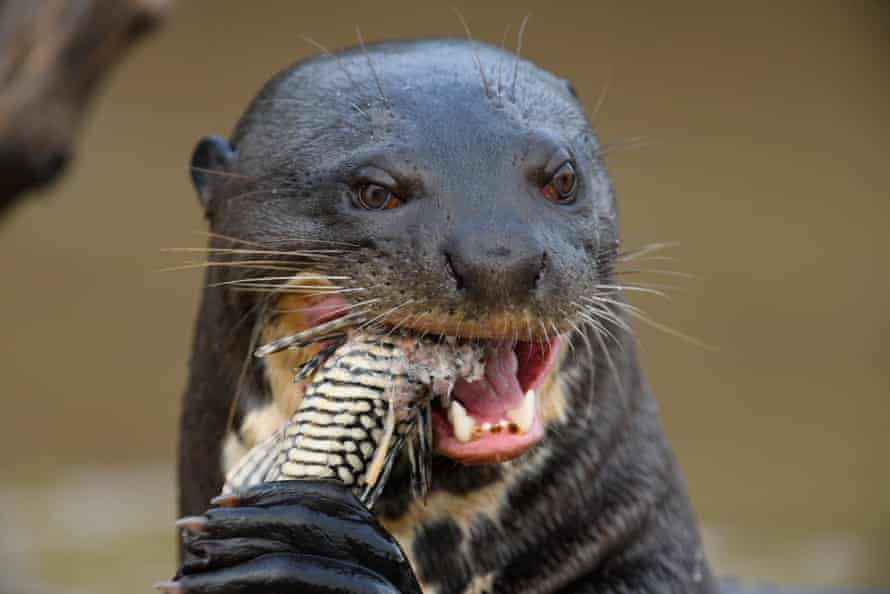 A giant otter