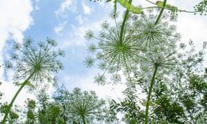 Giant hogweed flowers against a blue sky