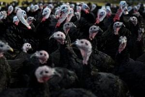Turkeys raised for Christmas on a farm in Ireland.