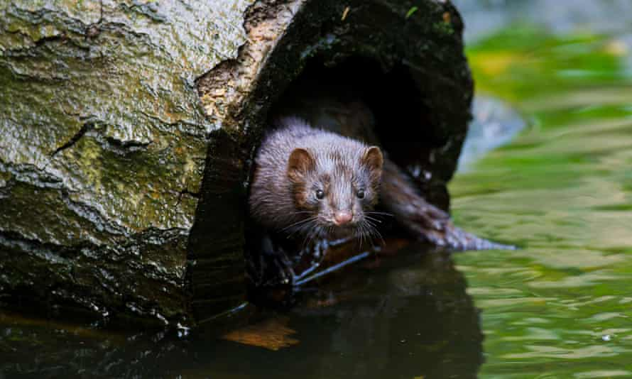 An American mink in hollow tree trunk on river bank.