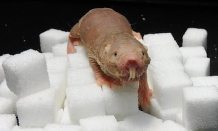 Mole rats can cope with nearly 20 minutes breathing air with no oxygen in it by switching away from a glucose-based metabolic system, say researchers.
